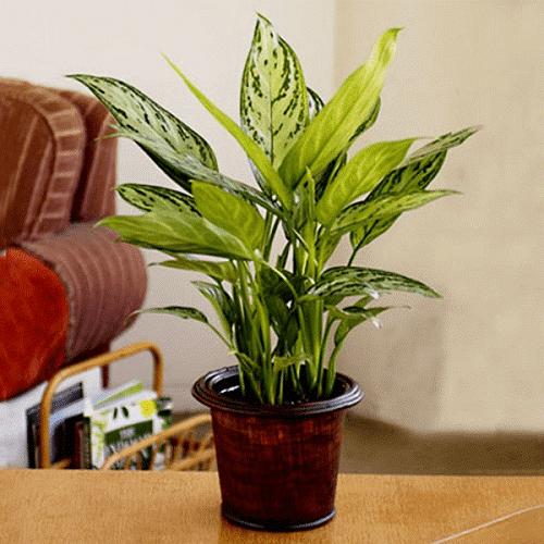 Những loại cây trang trí văn phòng phù hợp cho người mệnh Thủy