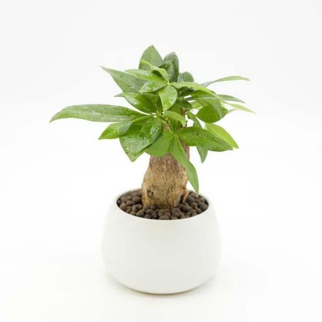 Để đón lộc và giữ tiền bạc trong nhà, nên trồng cây Kim Ngân
